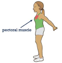 Image of where the pectoral muscle is on the body